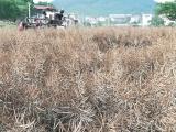 合肥冬闲田扩种油菜产量超700万公斤